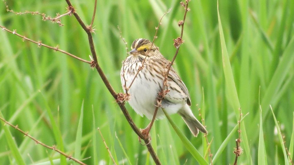 Savanna Sparrow, Photo By Robert Logan