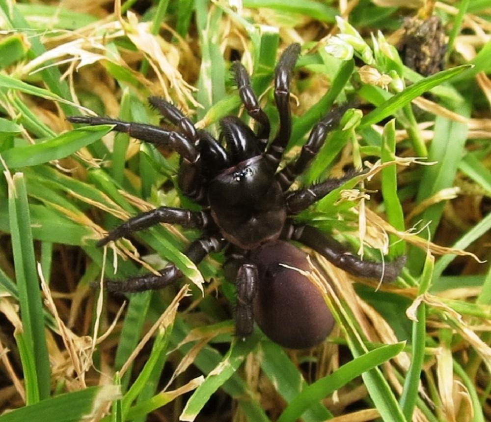 Trap Door Spider, Vancouver Island, BC