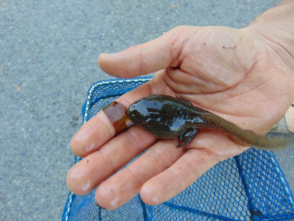 Bullfrog Tadpole, Photo By Bud Logan