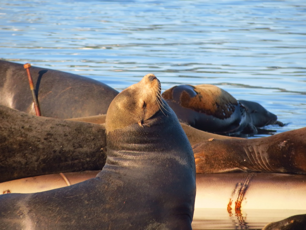 Steller Sealions, photo by Bud Logan