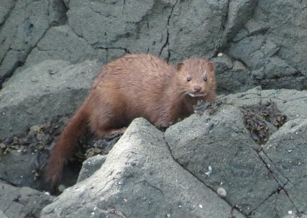 Mink, Vancouver Island, BC