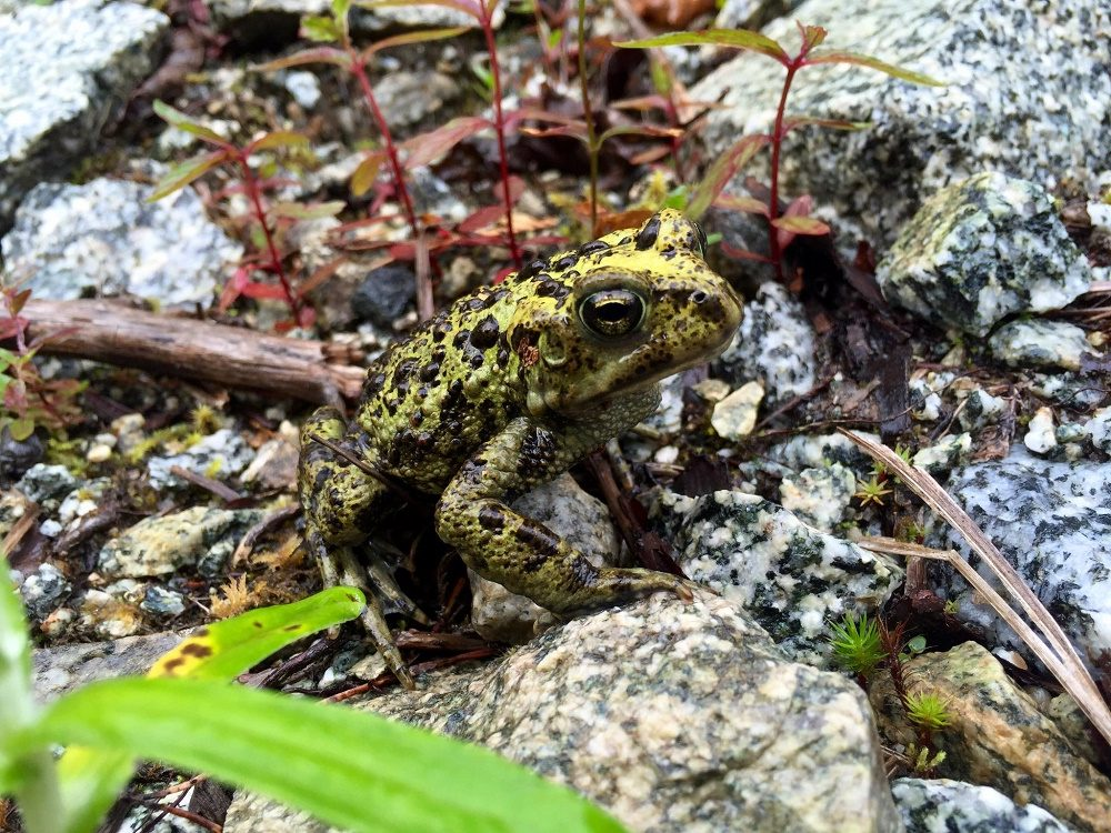 Western Toad, photo by Rob Logan
