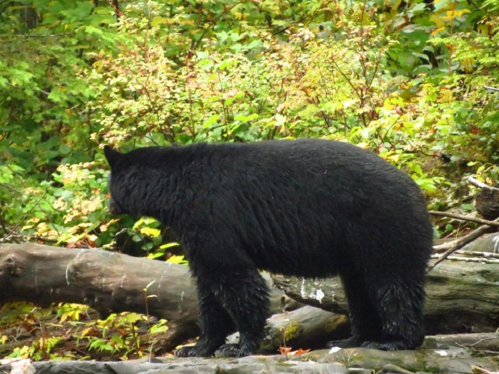 Black Bear, photo by Robert Logan