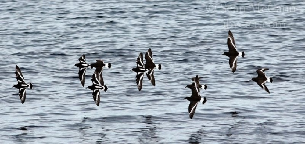 Black Turnstones, photo by Sean McCann