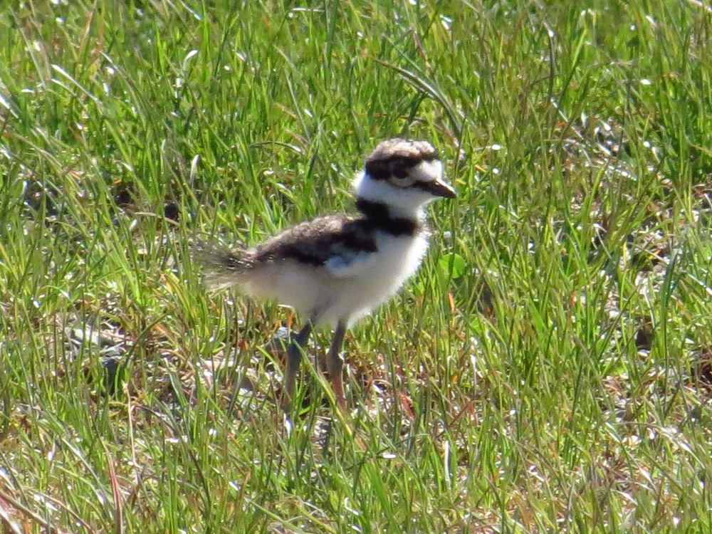 Killdeer Fledgling, photo by Bud Logan