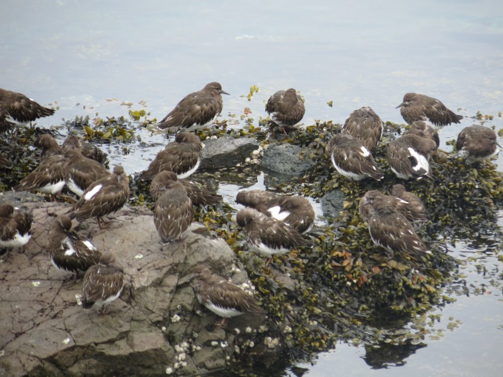 Black Turnstones, photo by Bud Logan