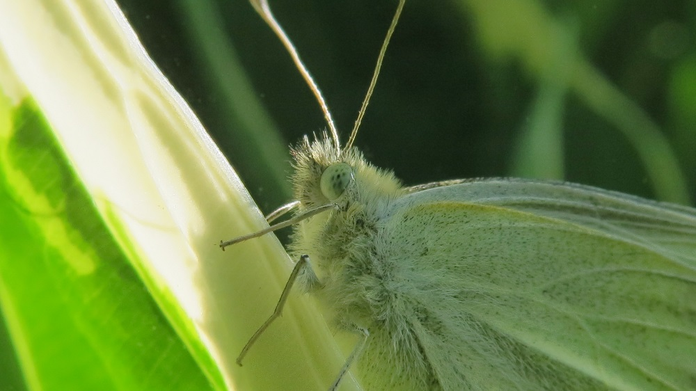 Cabbage white Butterfly, Vancouver Island, BC