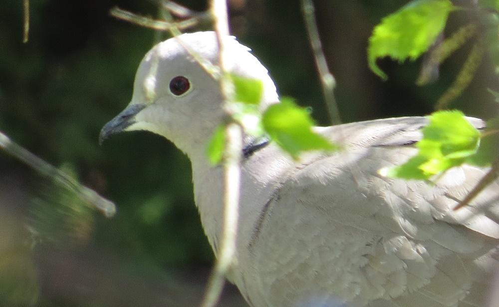 Eurasian Collared Dove, Photo By Bud Logan
