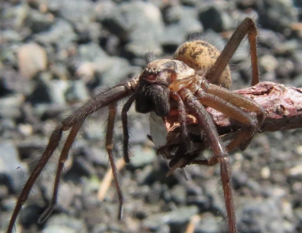 Giant House Spider, photo by Robert Logan