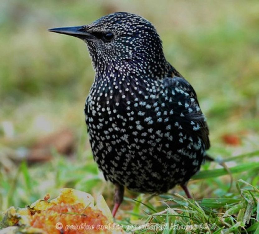 Starling, Photo Copyright By Pauline Greenhalgh