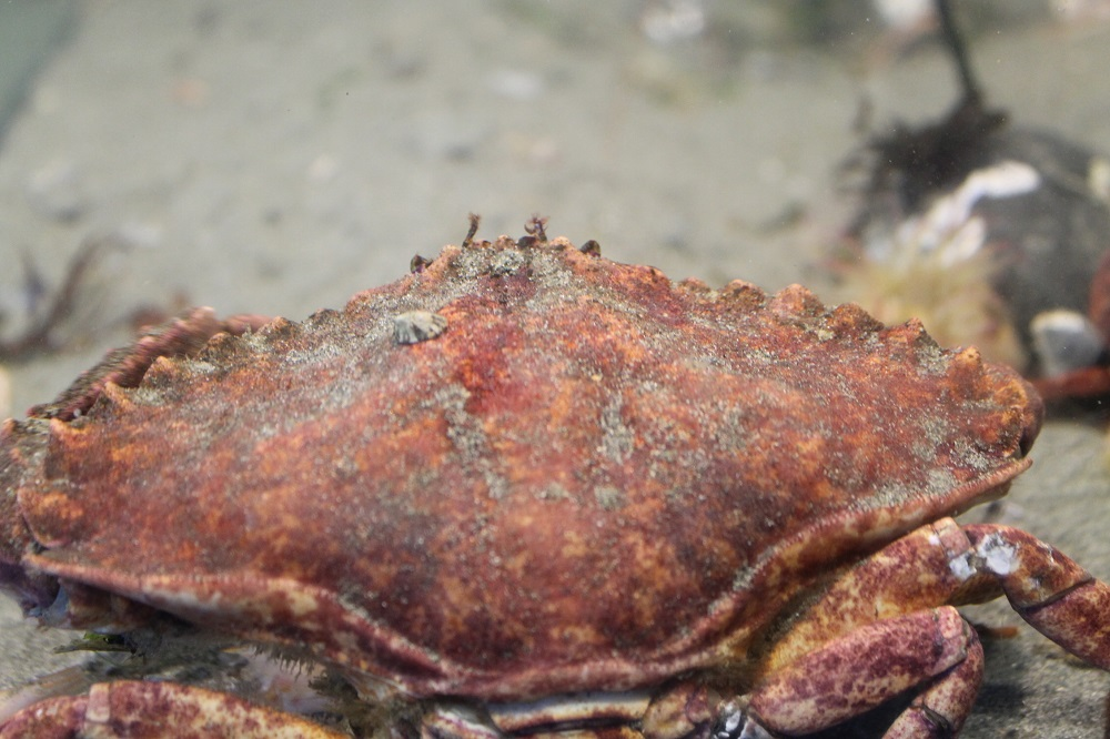 Red Rock Crab, photo by Bud Logan