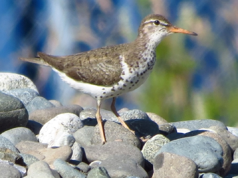 Spotted Sandpiper, photo by Robert Logan