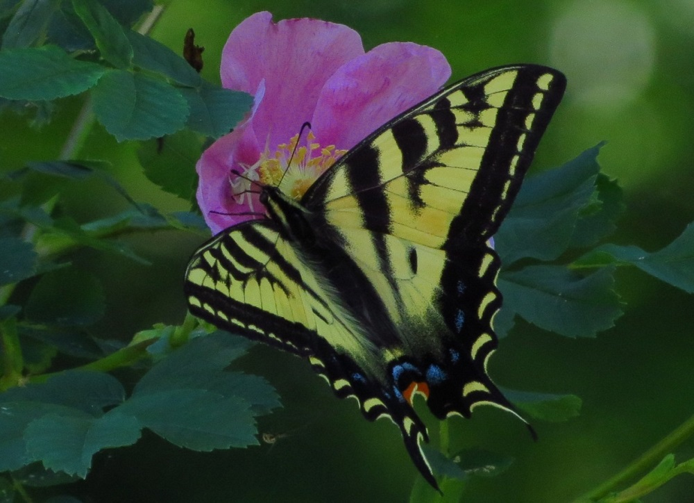 Western Tiger Swallowtail Butterfly, photo by Bud Logan