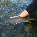 Dolly Varden Trout, Vancouver Island, BC