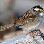 White Throated Sparrow, Vancouver Island, BC