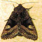American Angle Shades Moth, Vancouver Island, BC