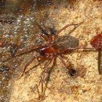 Callobius Spider, Vancouver Island, BC