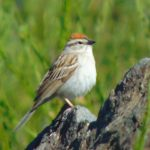 Chipping Sparrow, Vancouver Island, BC