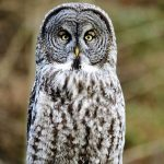 Great Gray Owl, Vancouver Island, BC