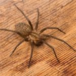Hobo Spider, Vancouver Island, BC