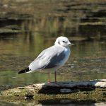 Bonaparte Gull, Vancouver Island, BC