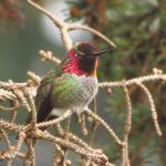 Anna Hummingbird, Vancouver Island, BC