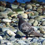Rock Pigeon, Vancouver Island, BC