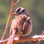 White Crowned Sparrow, Vancouver Island, BC