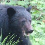 Black Bear, Vancouver Island, BC