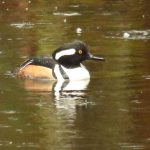 Hooded Merganser Duck, Vancouver Island, BC