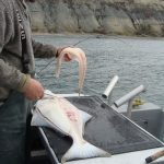 Pacific Halibut,Saltwater Fish, Vancouver Island, BC