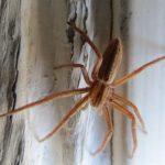 Tibellus Oblongus Spider, Vancouver Island, BC