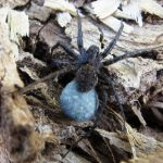 Wolf Spider, Vancouver Island, BC
