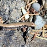 Northern Alligator Lizard, Vancouver Island, BC