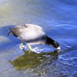 American Coot, Vancouver Island, BC