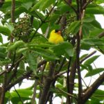 American Goldfinch, Vancouver Island, BC