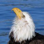 Bald Eagle, Vancouver Island, BC
