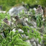 Band Tailed Pigeon, Vancouver Island, BC