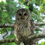 Barred Owl, Vancouver Island, BC
