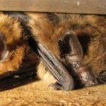 Big Brown Bat, Vancouver Island, BC