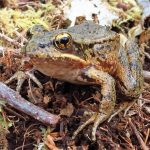 Bronze Frog, Vancouver Island, BC
