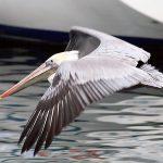 Brown Pelican, Vancouver Island, BC