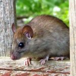Brown Rat, Vancouver Island, BC