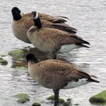 Canada Geese, Vancouver Island, BC