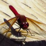 Cardinal Meadowhawk Dragonfly, Vancouver Island, BC