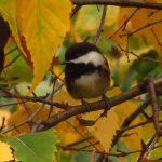 Chestnut Backed Chickadee, Vancouver Island, BC