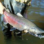 Chinook Salmon, Vancouver Island, BC