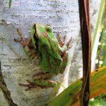 Pacific Chorus Frog, Vancouver Island, BC