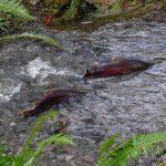 Coho Salmon, Saltwater Fish, Vancouver Island, BC