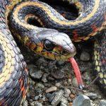 Common Garter Snake, Vancouver Island, BC